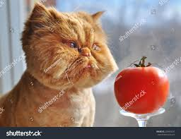 funny cat red tomato stock photo 220453237 shutterstock