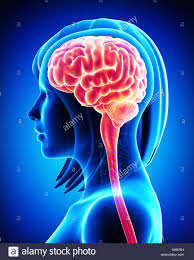 Neck Cross Sectional Anatomy Anatomy Of Female Brain Cross Section From Outside Stock Photo