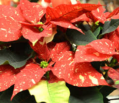 chesters flowers poinsettia plant care poinsettia myths from chester s flowers