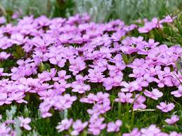 blooms flowers free photo blooms blossoms flowers dianthus pink carnation max pixel