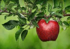 la pomme pour la santé
