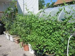pole bean trellis bay branch farm