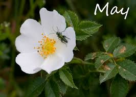 The Month Of June Flower - sophieco wild may flower of the month
