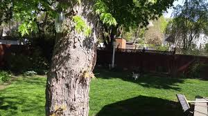 no more brown spots on my lawn prevent dog urine brown spots on