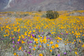 the blooms in anza borrego kpbs