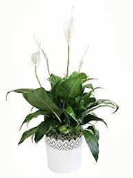 Lily Plant Amazon Com Delray Plants Peace Lily Spathiphyllum In 6