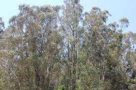 east bay hills tree removal plan still sparking debate east bay