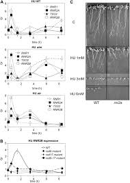 ribonucleotide reductase regulation in response to genotoxic