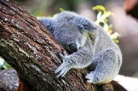 pandas vs koalas