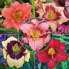 reblooming daylilies reblooming daylily select collection hill nurseries