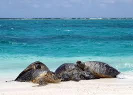 imagenes tortugas verdes el calentamiento global convierte en hembras al 99 de una población