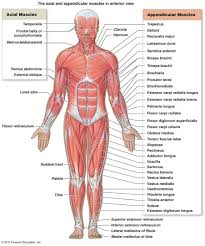 skeletal muscular system coloring pages belly fascia image result