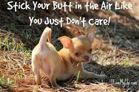 Meme Chihuahua - funny chihuahua meme the love of my life i love you so much