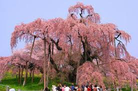 the meaning of cherry blossoms in and renewal the symbolism of the