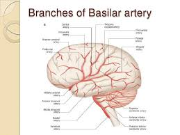 Vascular Anatomy Of The Brain Vascular Anatomy Brain At Best Way To Study Anatomy And Physiology