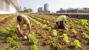 Urban Farm And Garden - rooftop farming is getting off the ground the salt npr