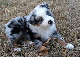 australian shepherd puppies 7 weeks best 25 miniature australian shepherds ideas on pinterest
