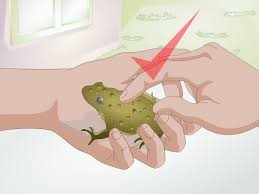 how to raise frogs with pictures wikihow
