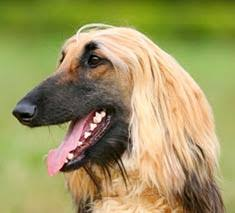 afghan hound arizona afghan hound breed information