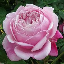 gallery of english roses pinks u2013 susan rushton