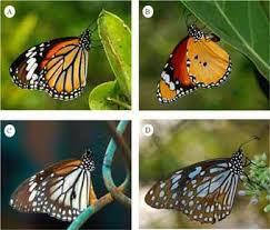 image 4 tiger butterflies of indian sundarbans delta a striped