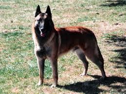 belgian shepherd size dog dna test is for the birds onmilwaukee