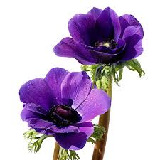 anemones flowers flower