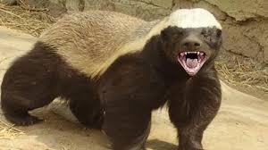Honeybadger Meme - honey badger know your meme