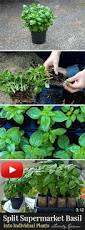 how to split supermarket basil into individual plants blog and
