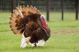 rainbow foods heirloom turkeys make a comeback
