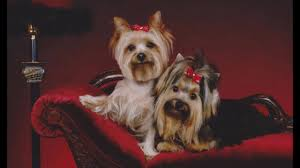 tampa dog grooming yorkie hairstyle options youtube