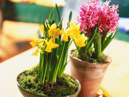 easy flowers to grow indoors living flowers are a great way to bring color into your home forced