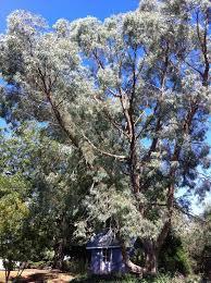 Eucalyptus Trees Eucalyptus Nicholii U0027angus U0027 Eucalyptus Tree Southerneucs