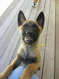 belgian sheepdog puppies price 139 best malinois images on pinterest belgium malinois belgian