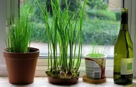 indoor planting how to grow garlic indoors growing garlic indoors balcony