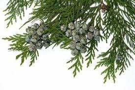 cedar tree diseases