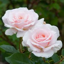Fragrant Rose Plants Hybrid Tea Roses David Austin Roses