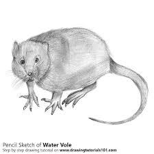 water rat pencil drawing how to sketch water rat using pencils