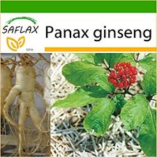 Ub Ginseng saflax ginseng 10 seeds with soil panax ginseng