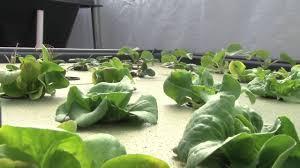 indoor backyard aquaponics kit for easy home farming gardening