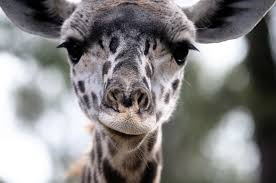 giraffe images public domain pictures page 1