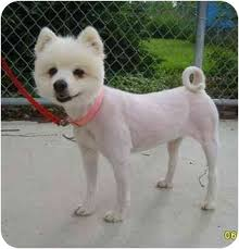 american eskimo dog ireland marshmallow adopted dog austin mn american eskimo dog
