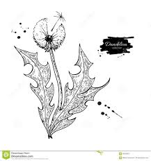 dandelion flower vector drawing set isolated wild plant and
