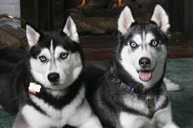 wallpaper husky couple look spotted dog hd picture image