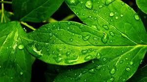 green leaves wallpapers wallpaper wiki