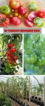 best 25 tomato cultivation ideas on pinterest growing tomatoes