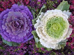 ornamental kale is beautiful in fall gardens and planters fall