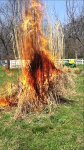 even more burning of ornamental grasses this is a big one