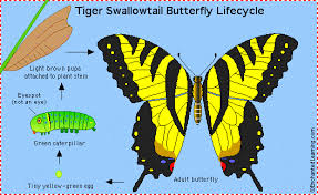 tiger swallowtail b fly enchantedlearning com