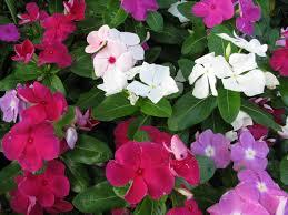 madagascar native plants tsitsirika dr farrah cancer center